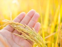 Oído de Goldenr del arroz en la mano del granjero antes de la cosecha, Tailandia imagen de archivo