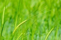 Oído de la cebada en campo de la cebada Imagenes de archivo