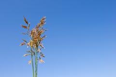 Oído de la hierba Foto de archivo libre de regalías