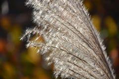 Oído de la hierba de plata Imagen de archivo