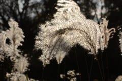 Oído de la hierba de plata Imagen de archivo libre de regalías