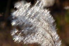 Oído de la hierba de plata Imágenes de archivo libres de regalías