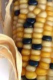 Oído de maíz Foto de archivo