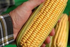 Oído de maíz - detalle Imágenes de archivo libres de regalías