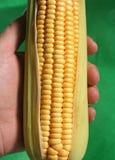 Oído de maíz - detalle Imagen de archivo libre de regalías