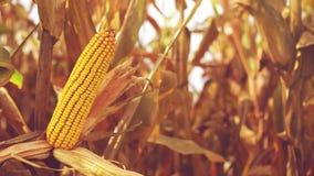 Oído de maíz maduro en campo cultivado agrícola en la estación de la cosecha lista para escoger, cantidad completa constante de H almacen de video