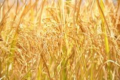 Oído de oro de Backgroud del arroz Imagen de archivo libre de regalías
