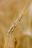 Oído de oro del trigo Imágenes de archivo libres de regalías