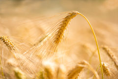 Oído de oro del trigo Foto de archivo libre de regalías
