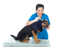Oído de perro de la limpieza del veterinario Imágenes de archivo libres de regalías