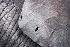 Oído de un elefante Foto de archivo libre de regalías