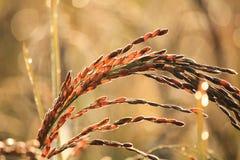 Oído del arroz fotos de archivo libres de regalías