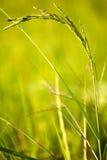 Oído del arroz Imágenes de archivo libres de regalías