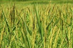 Oído del arroz Fotografía de archivo