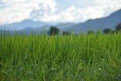 Oído del arroz Foto de archivo libre de regalías