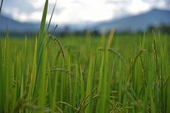 Oído del arroz Fotografía de archivo libre de regalías
