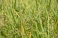 Oído del arroz Imagen de archivo libre de regalías