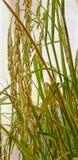 Oído del arroz en el campo fotos de archivo