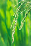 Oído del arroz en el campo del arroz, punto Imagen de archivo libre de regalías