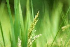 Oído del arroz en el campo del arroz, punto Imágenes de archivo libres de regalías