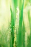 Oído del arroz en el campo del arroz, punto Foto de archivo