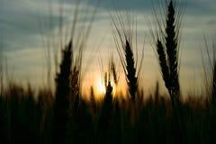 Oído del centeno en el campo en la puesta del sol Foto de archivo libre de regalías