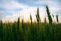 Oído del centeno en el campo en la puesta del sol Imagenes de archivo