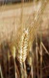 Oído del pan Imagen de archivo libre de regalías