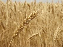 Oído del trigo Imágenes de archivo libres de regalías