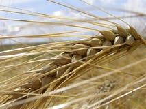 Oído del trigo Imagen de archivo libre de regalías