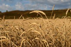 Oído del trigo Foto de archivo libre de regalías