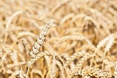 Oído del trigo Imagen de archivo