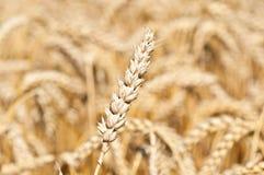 Oído del trigo Fotos de archivo