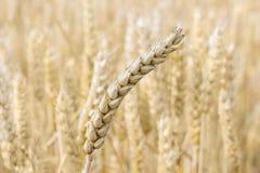Oído del trigo contra del campo de trigo Imagen de archivo libre de regalías