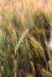 Oído del trigo contra la perspectiva de un campo de trigo Imagen de archivo