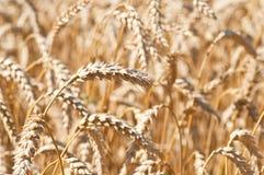 Oído del trigo en campo Foto de archivo