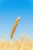 Oído del trigo en campo Fotografía de archivo
