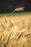 Oído del trigo que se coloca fuera de campo de trigo Fotografía de archivo