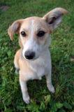 Oído grande del perrito Fotografía de archivo libre de regalías