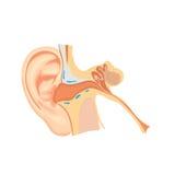 Oído humano Imagen de archivo libre de regalías