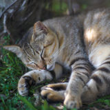 Oído-tippe Cat Sleeping en la sombra del árbol fotografía de archivo libre de regalías