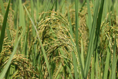 Oído verde del arroz en campo del arroz de arroz fotografía de archivo libre de regalías