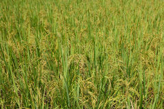 Oído verde del arroz en campo del arroz de arroz Fotografía de archivo