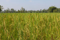 Oído verde del arroz en campo del arroz de arroz Fotos de archivo