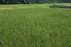 Oído verde del arroz en campo del arroz de arroz Imágenes de archivo libres de regalías