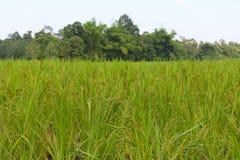 Oído verde del arroz en campo del arroz de arroz fotos de archivo libres de regalías