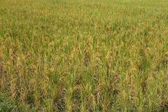 Oído verde del arroz en campo del arroz de arroz Foto de archivo