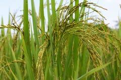 Oído verde del arroz en campo del arroz de arroz imagen de archivo