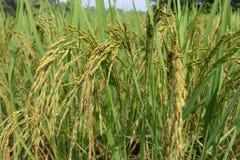 Oído verde del arroz en campo del arroz de arroz imagen de archivo libre de regalías