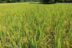 Oído verde del arroz en campo del arroz de arroz foto de archivo libre de regalías
